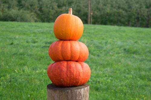 pumpkin500